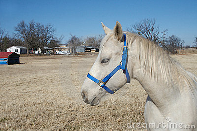 Cheval Arabe l Oklahoma
