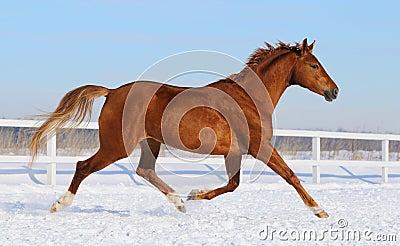 Cheval de Hanoverian fonctionnant sur le manege de neige