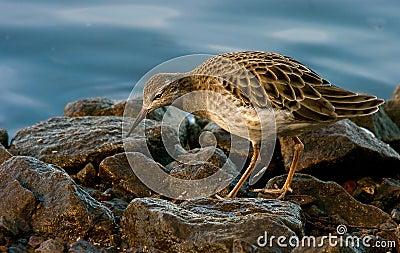 Chevalier combattant femelle sur les roches