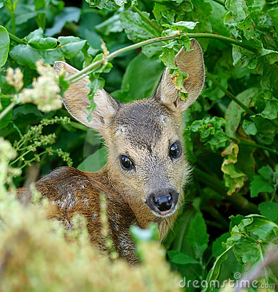 Free Chevrotain Of Roedeer Royalty Free Stock Photography - 4294307