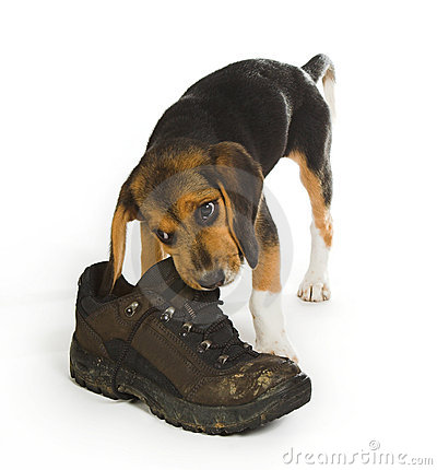 Free Chewing On A Boot Stock Photography - 1983982