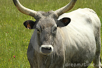 Chianina cow closeup