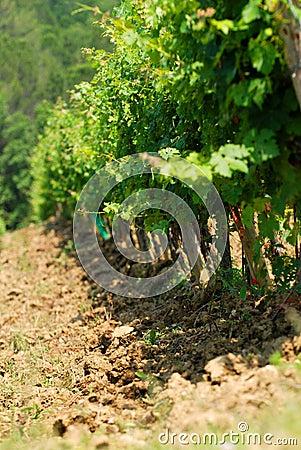 Chianti vineyard in Tuscany