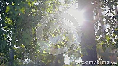 Chiarore della lente attraverso gli alberi al tramonto archivi video