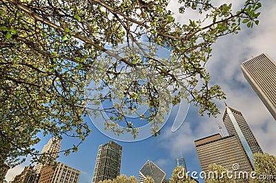Chicago and cherry blossom