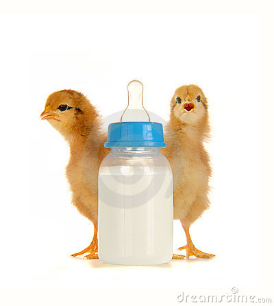 Chick Royalty Free Stock Photo - Image: 16432765