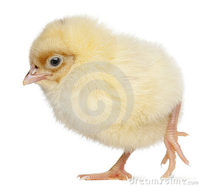 Free Chick, 2 Days Old Stock Photo - 20377050