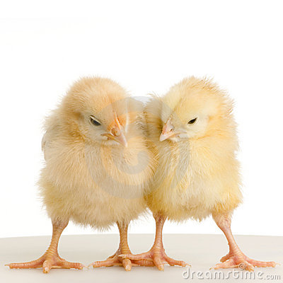 Free Chick Stock Photography - 2249652