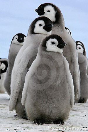 Chick (Emperor penguin)