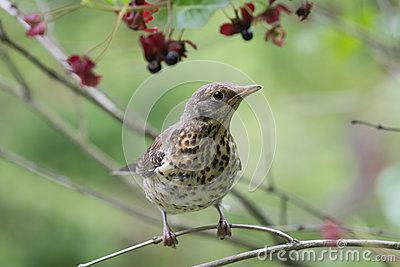 Chick of Fieldfare