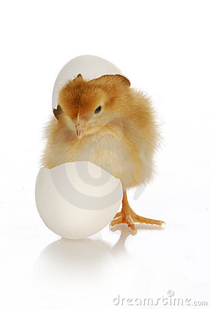 Free Chick Hatching Royalty Free Stock Photo - 19321785