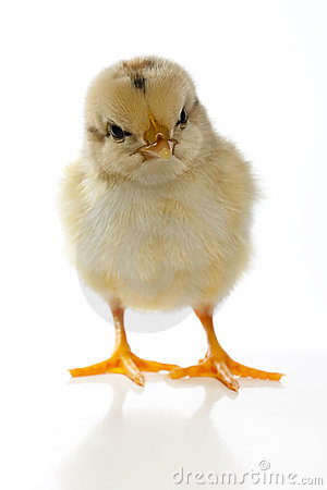 Chick staring at camera