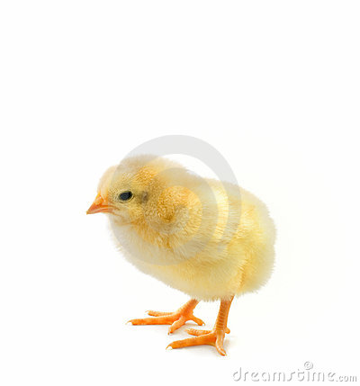 Chick on white