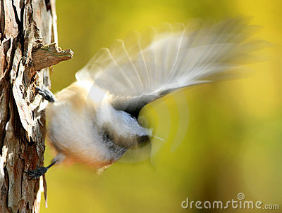 Chickadee Autumn Blur