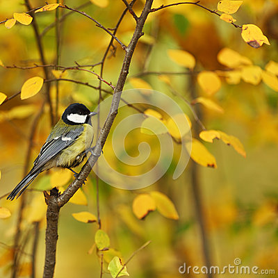 Chickadee bird