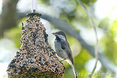 Chickadee on bird feeder
