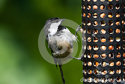 Chickadee and Bird Feeder