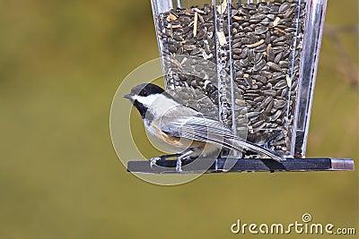 Chickadee Nero-ricoperto ad un alimentatore