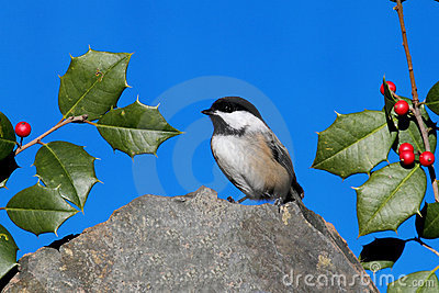 Chickadee on a Rock with Holly