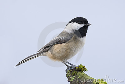 Chickadee Small bird