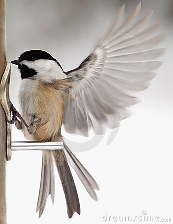 Chickadee with wings fluttering