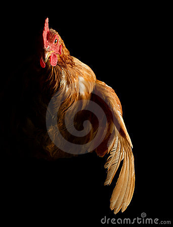 Free Chicken Royalty Free Stock Images - 18011689