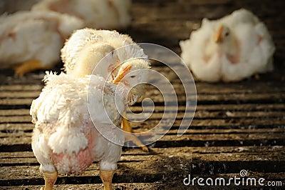 Chicken (25 days old)