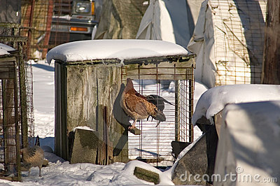 Chicken in Cage Stock Photo