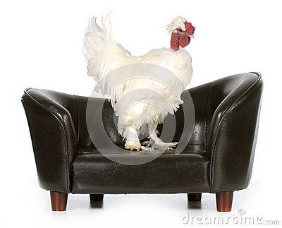 Chicken on a couch