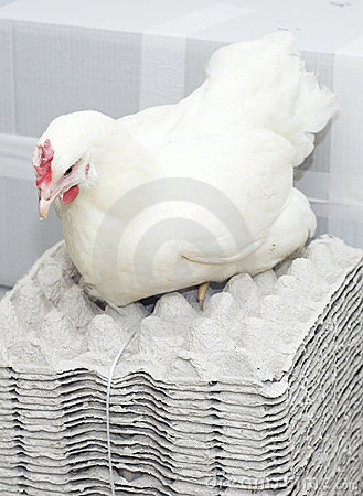 Chicken white