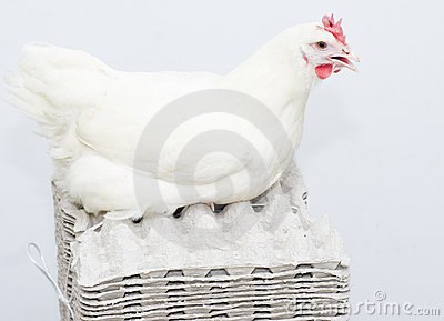 Chicken white parent on the empty egg pack