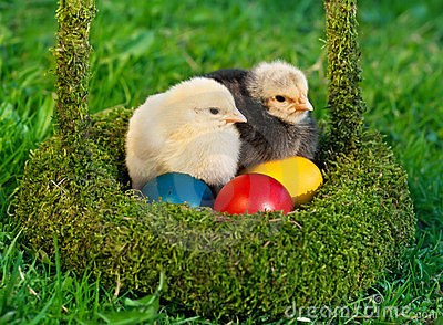 Chickens with  colored eggs