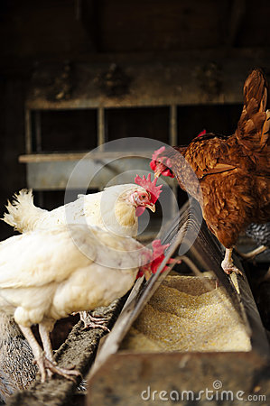 Free Chickens Feeding Stock Photos - 29972893