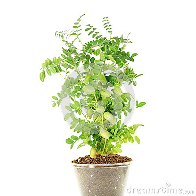 Free Chickpeas Green Young Plant With Pod On Pure White Background Stock Image - 57289101