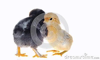Chicks.