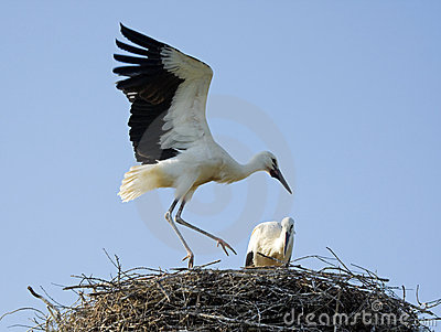 Chicks of white storks