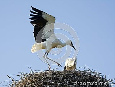 Chicks of white storks