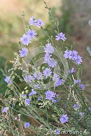 Free Chicory Royalty Free Stock Photos - 1006768