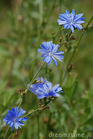 Chicory  Royalty Free Stock Photo - Image: 18474225