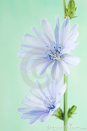 Free Chicory Flower Stock Photography - 22646052
