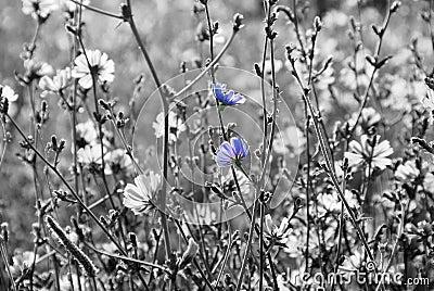 Chicory flowers