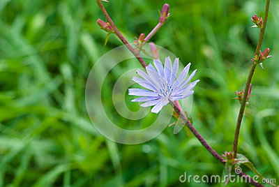Chicory perennial herbaceous plant