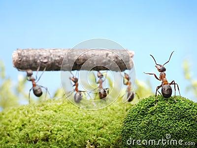 Chief managing work of ants, teamwork
