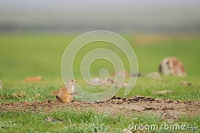 Chien de prairie à queue noire (ludovicianus de Cynomys)
