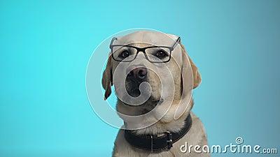 Chien pedigreed amusant en lunettes posant sur la caméra, la caméra intelligente, la publicité banque de vidéos