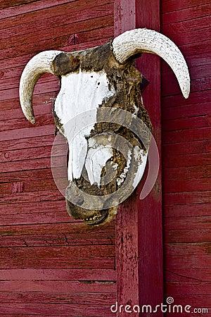 Chifres principais do boi no vertical vermelho da parede do celeiro