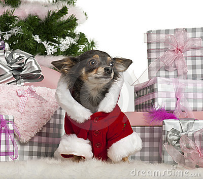 Chihuahua, 1 year old, with Christmas gifts
