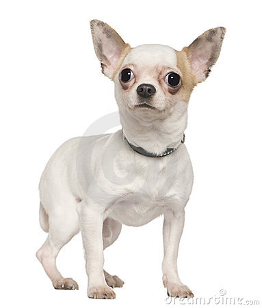 Chihuahua, 1 year old, standing