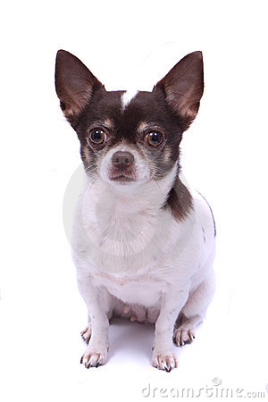 Free Chihuahua Royalty Free Stock Photo - 10922275