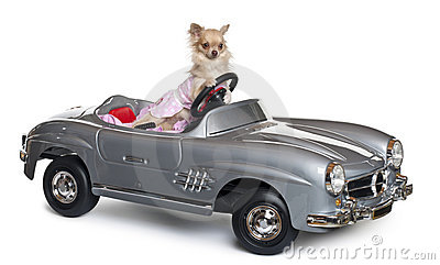 Chihuahua, 11 months old, driving a convertible